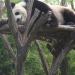 Monsieur panda